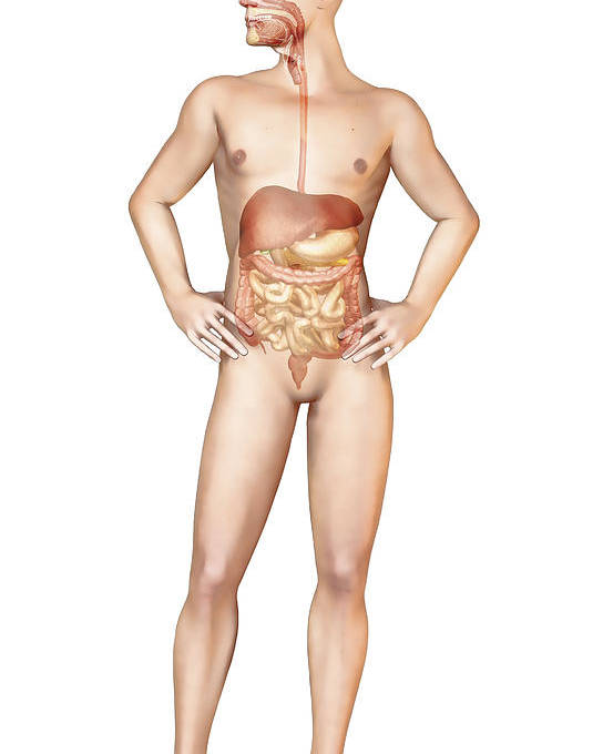 Digestion Poster featuring the digital art Male Body Standing, With Full Digestive by Leonello Calvetti