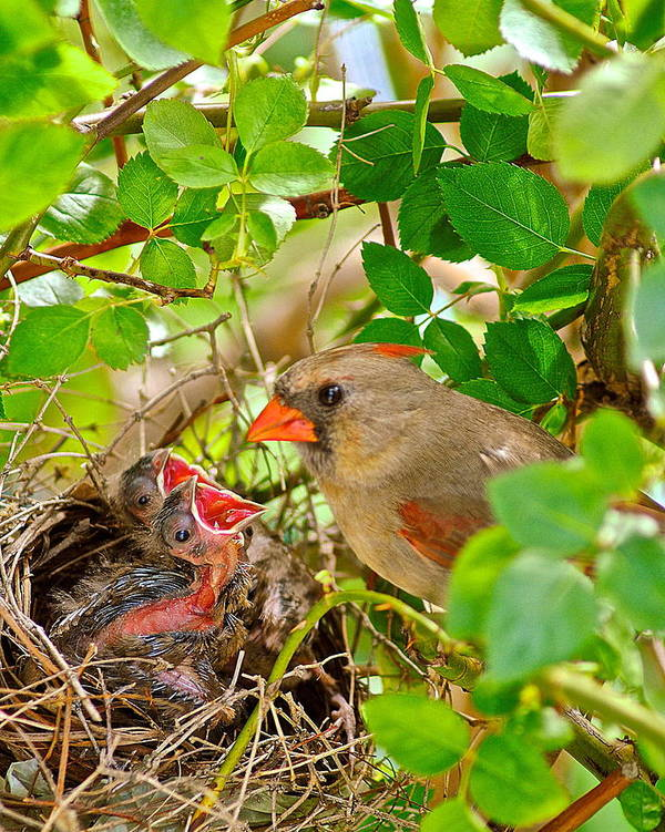 Cardinal Poster featuring the photograph Mama Bird by Frozen in Time Fine Art Photography