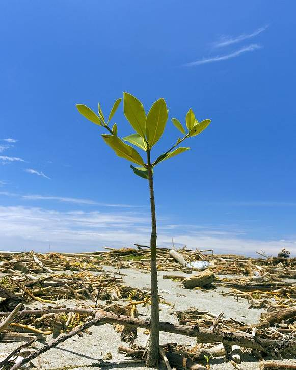 Tropical Poster featuring the photograph Mangrove Seedling On A Beach by Science Photo Library