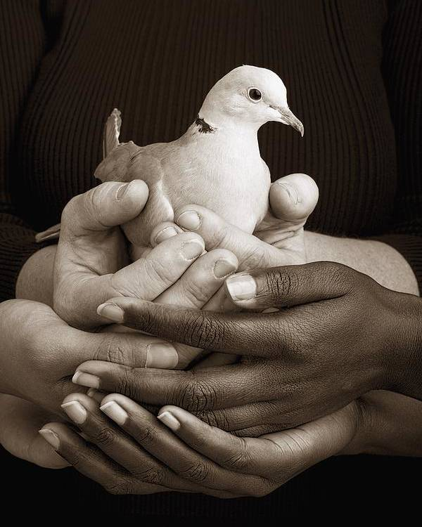 Teamwork Poster featuring the photograph Many Hands Holding A Dove by Ron Nickel