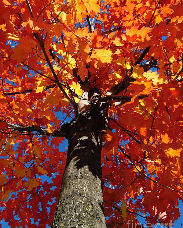 Tree Poster featuring the photograph Maple Tree by DKS Imagination