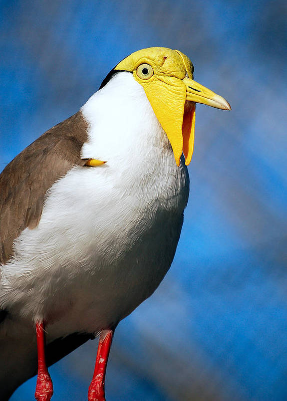 Bird Poster featuring the photograph Masked Lapwing Bird by Donna Proctor