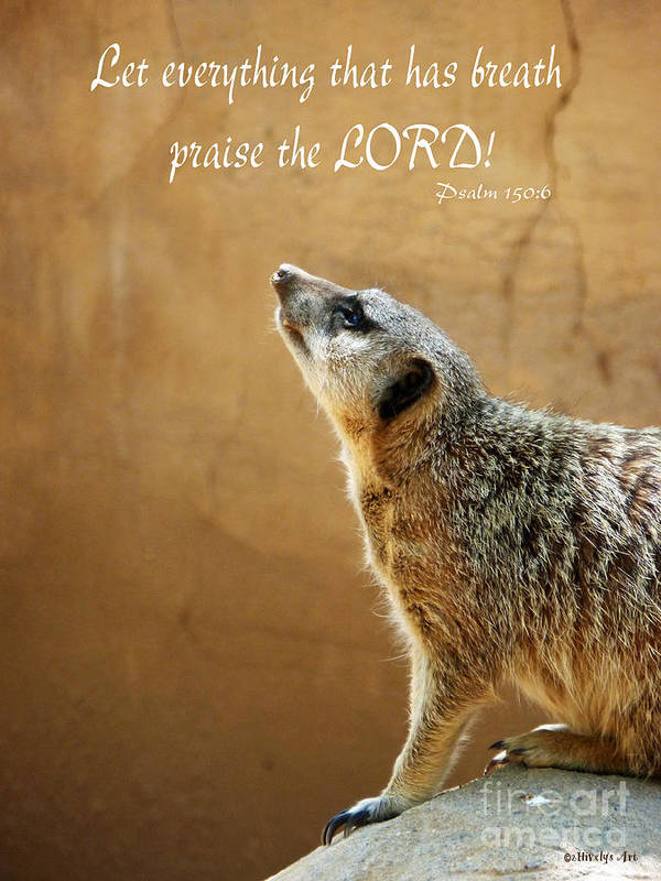 Meerkat Praise Poster featuring the photograph Meerkat Praise by Methune Hively