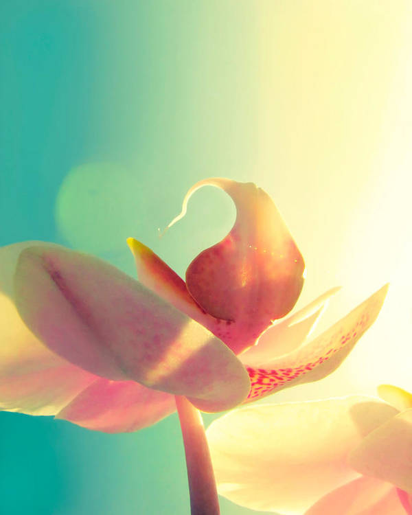 Orchid Poster featuring the photograph Melody by Amy Tyler