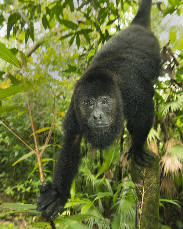 Kevin Schafer Poster featuring the photograph Mexican Black Howler Monkey Belize by Kevin Schafer