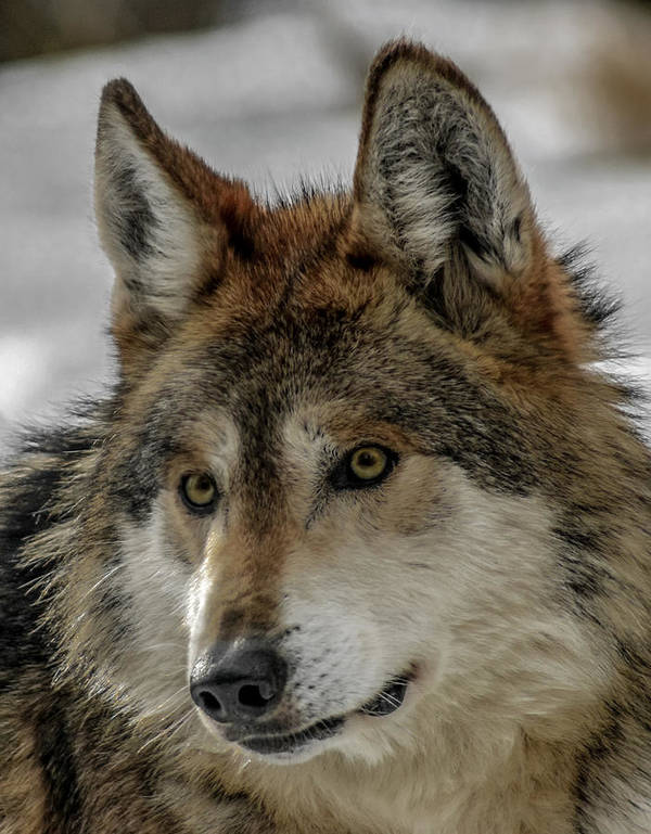 Wolf Poster featuring the photograph Mexican Grey Wolf Upclose by Ernie Echols