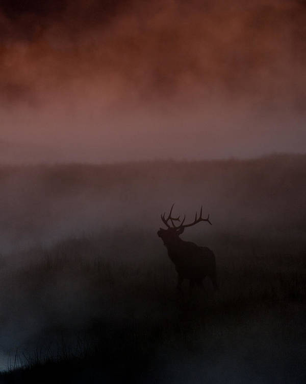Bull Poster featuring the photograph Misty Morning Elk by Gary Langley