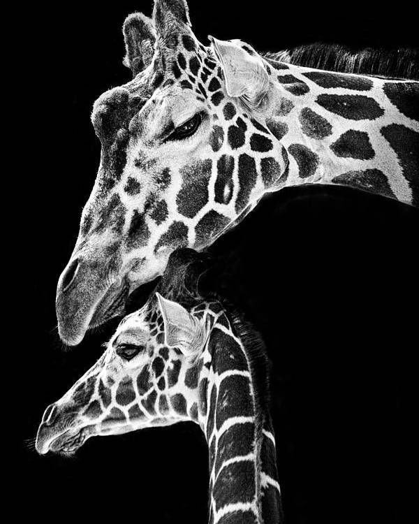 3scape Photos Poster featuring the photograph Mom And Baby Giraffe by Adam Romanowicz