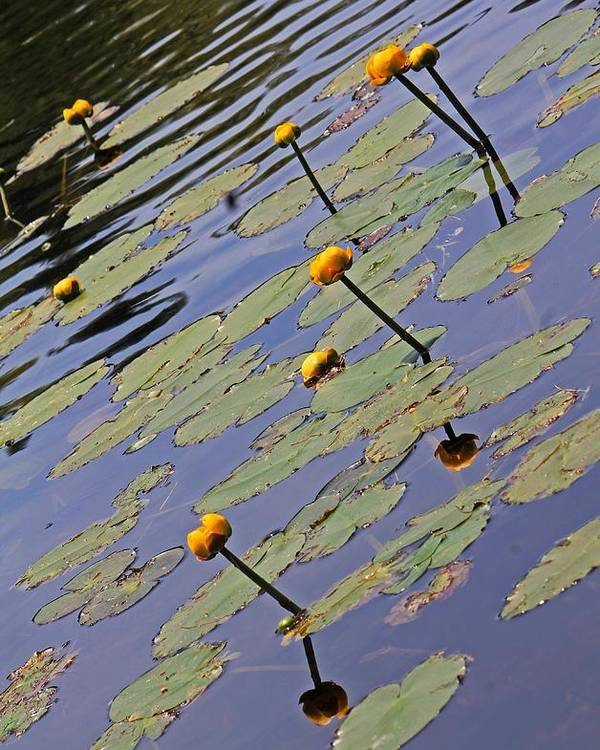 Moore State Park Poster featuring the photograph Moore State Park Lily Pads 1 by Michael Saunders