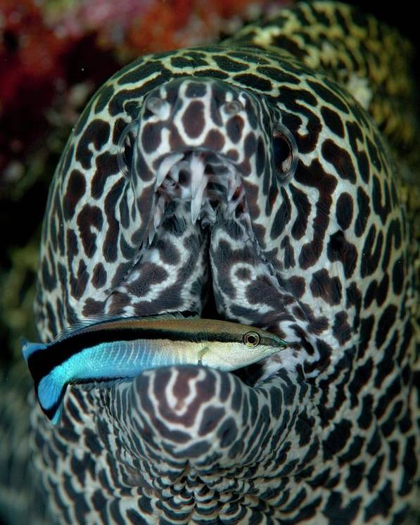 Blackspotted Moray Eel Poster featuring the photograph Moray Eel With Cleaner Wrasse by Scubazoo