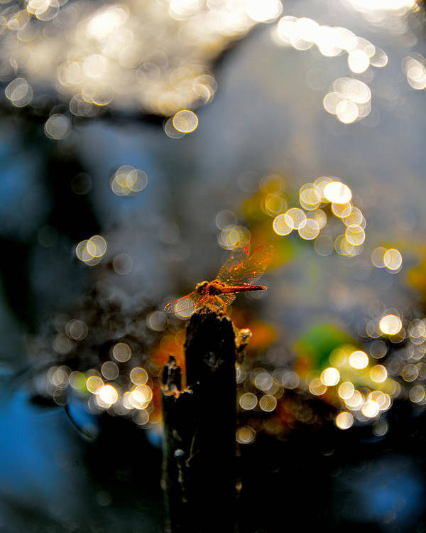 Dragonfly Morning Light Nature Poster featuring the photograph Morning Light by Naret Singusaha