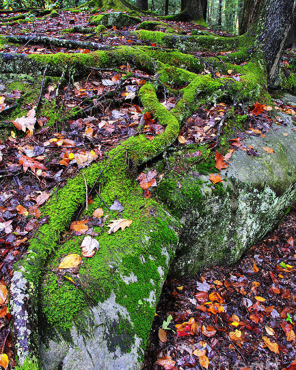 Tree Roots Poster featuring the photograph Moss Roots Rock And Fallen Leaves by Thomas R Fletcher