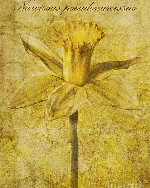 Jonquil Poster featuring the photograph Narcissus Pseudonarcissus by John Edwards
