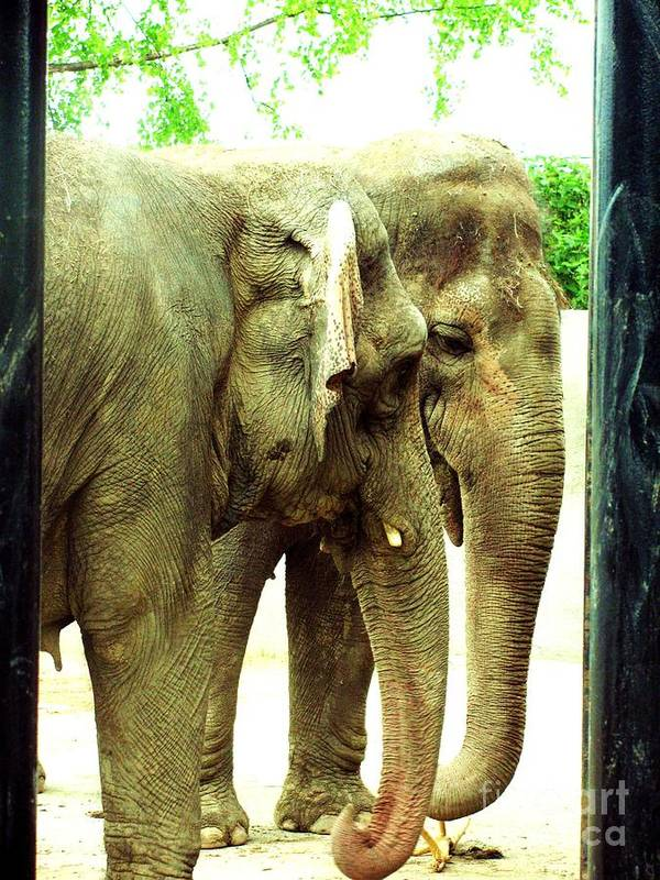 Asian Elephants Poster featuring the photograph Niabi Asian Elephants by Margaret Newcomb