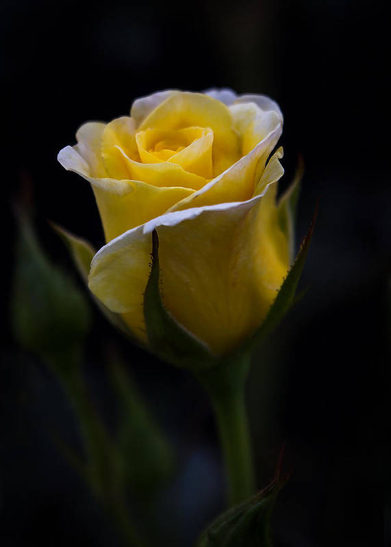 Single Yellow Rose Poster By Patti Deters