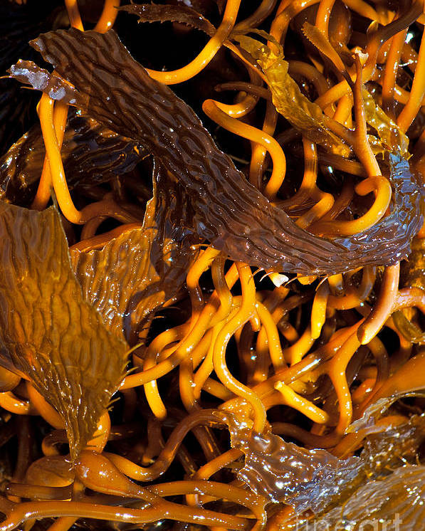 Seaweed Poster featuring the photograph Noodles Of The Sea by Gwyn Newcombe