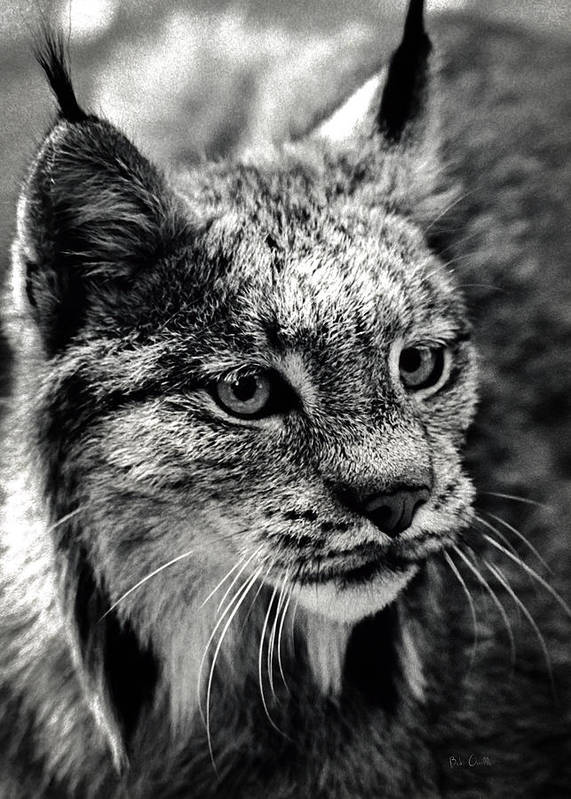 Animal Poster featuring the photograph North American Lynx In The Wild. by Bob Orsillo