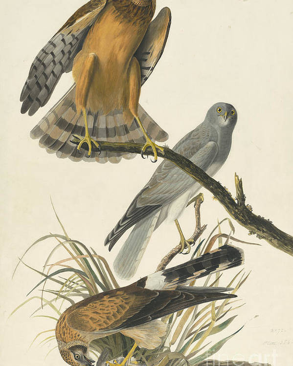 Pecking Poster featuring the drawing Northern Harrier by Celestial Images