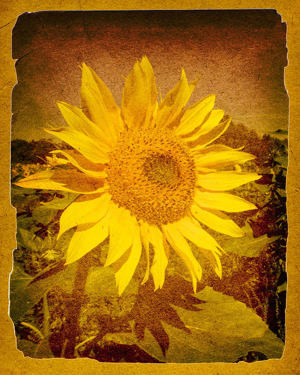 Flower Poster featuring the photograph Of Sunflowers Past by Bob Orsillo