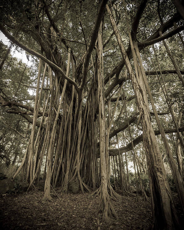 3scape Photos Poster featuring the photograph Old Banyan Tree by Adam Romanowicz