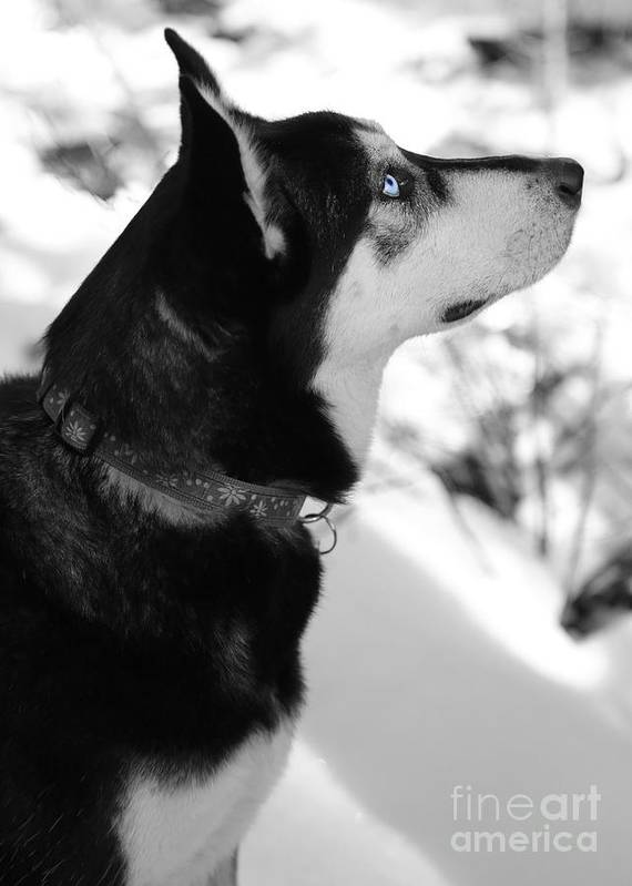 Dog Poster featuring the photograph Old Blue Eye by Carol Groenen