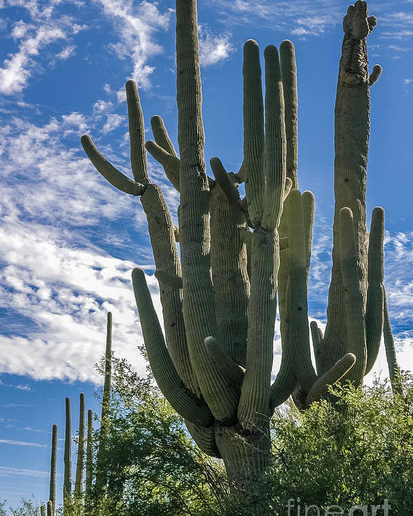 Al Andersen Poster featuring the photograph Old Saguaro At Ventana Canyon by Al Andersen
