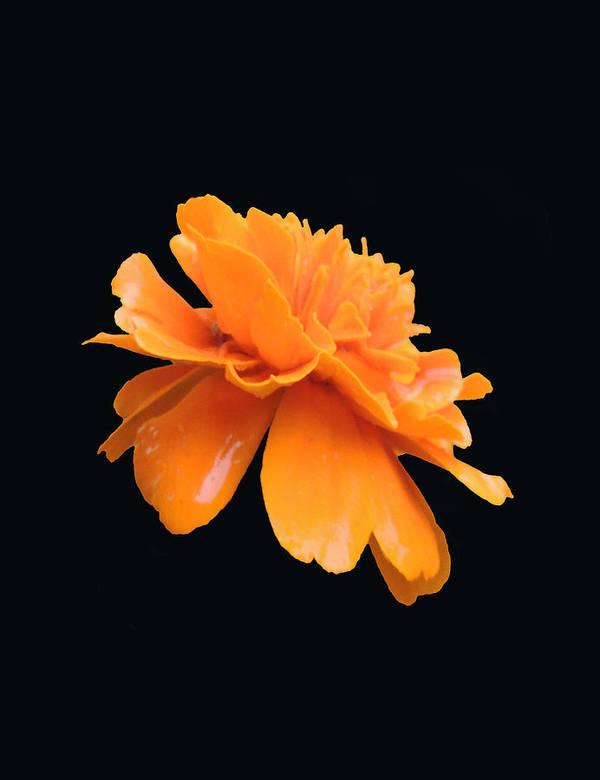Flower Poster featuring the photograph Orange by Amalia Jonas