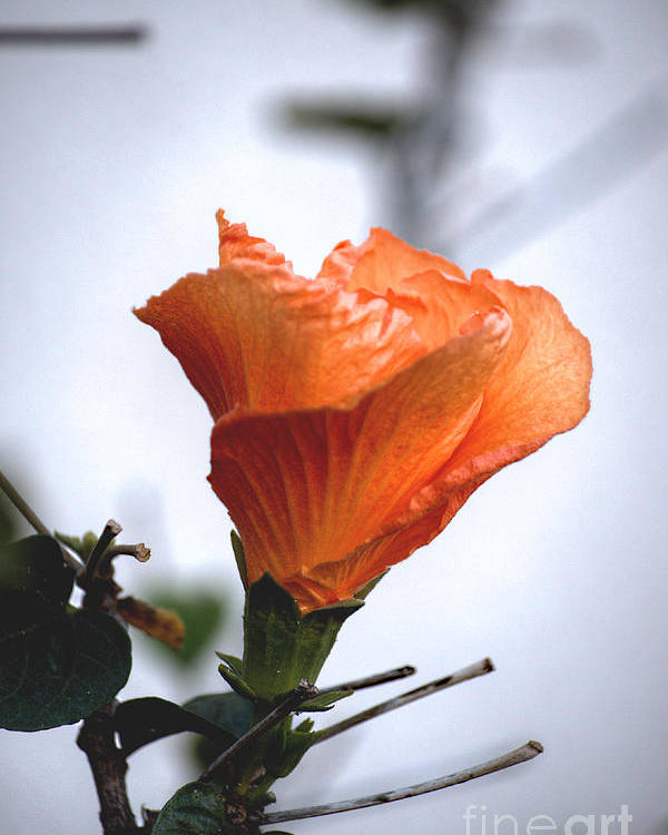 Hibuscus Poster featuring the photograph Orange Hibiscus Lax 2 by Deborah Smolinske