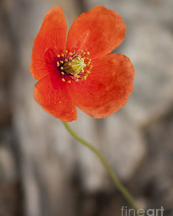 Orange Poster featuring the photograph Orange Poppy by Lena Auxier