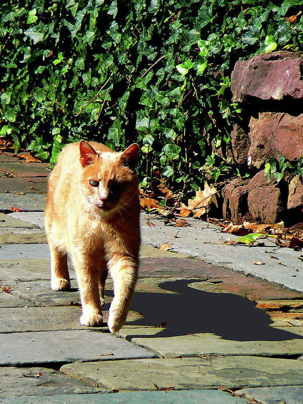 Cat Poster featuring the photograph Orange Tabby Taking A Walk by Susan Savad