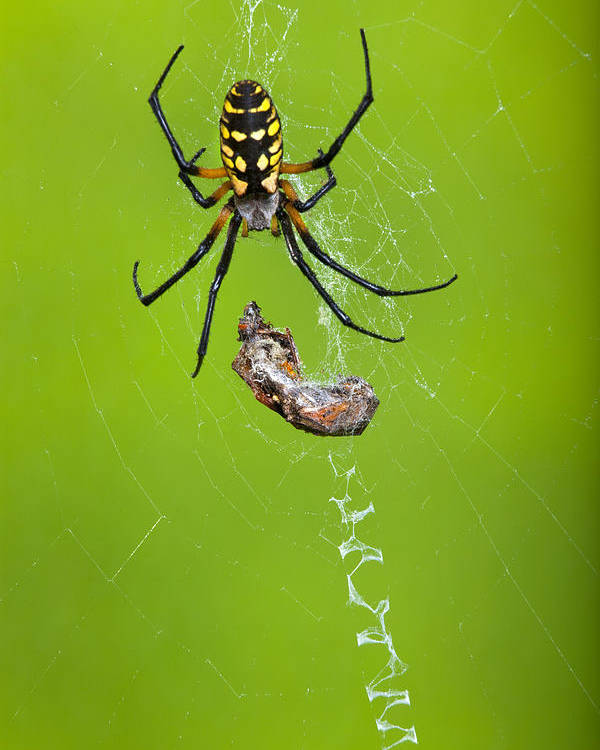 Orb Spider Poster featuring the photograph orb spider Argiope aurantia by Robert Jensen