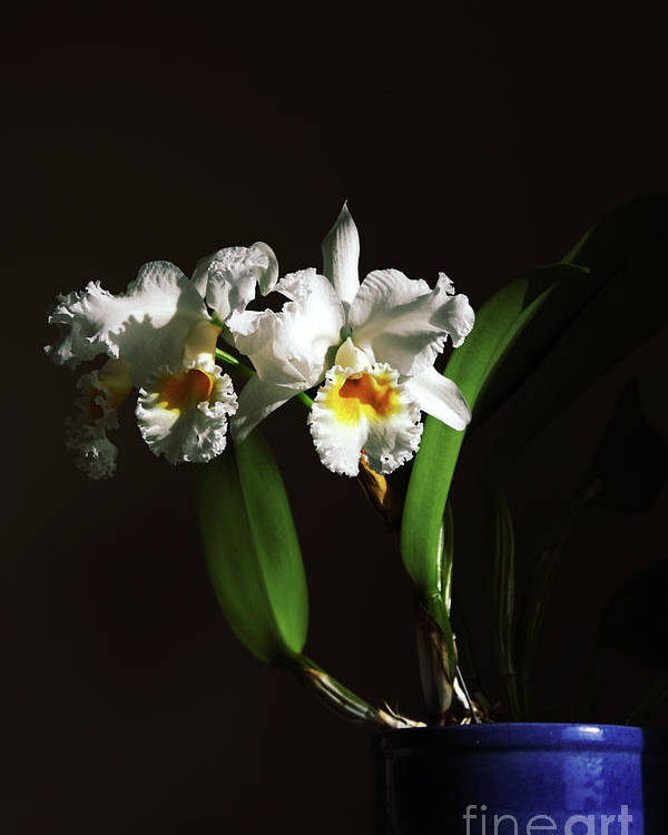 Orchid Poster featuring the photograph Orchid Cattleya Bow Bells by Charline Xia