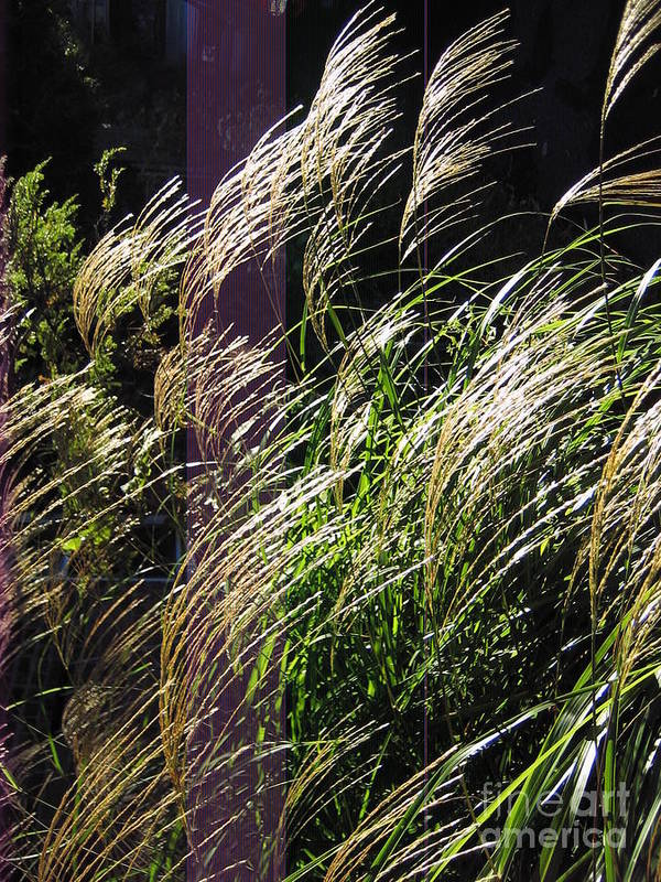 Dlgerring Poster featuring the photograph Ornamental Grass by D L Gerring
