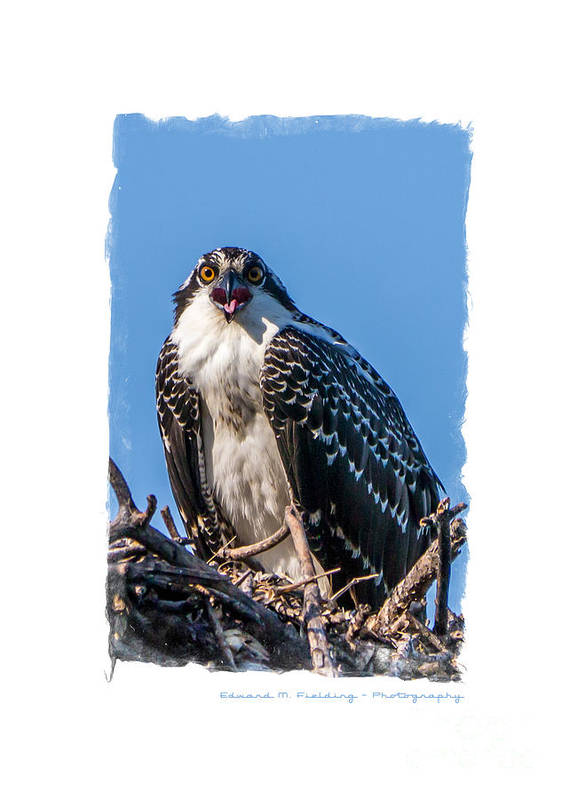 Funny Poster featuring the photograph Osprey Surprise Party Card by Edward Fielding