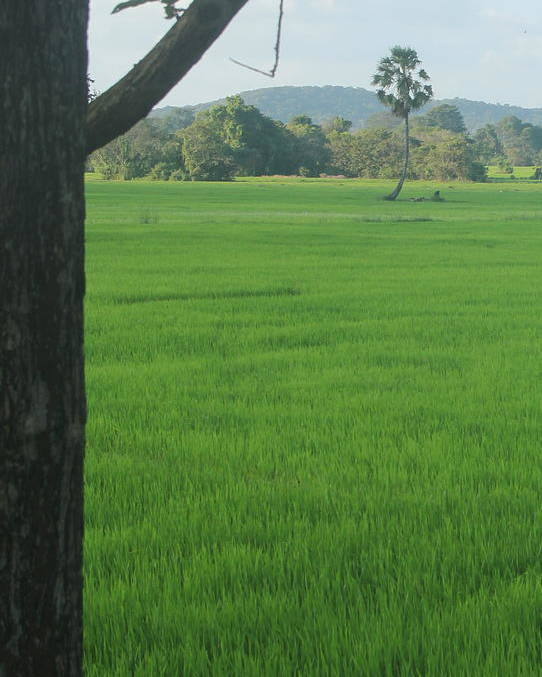 Green Paddy Fields Poster featuring the photograph Paddy Fields 3 by Andrew Wijesuriya