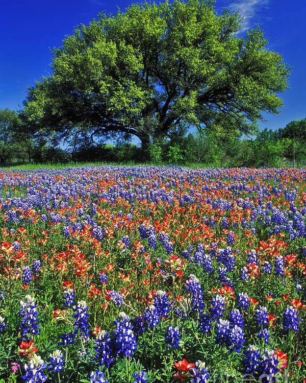 Texas Poster featuring the photograph Paintbrush And Bluebonnets - Fs000057 by Daniel Dempster