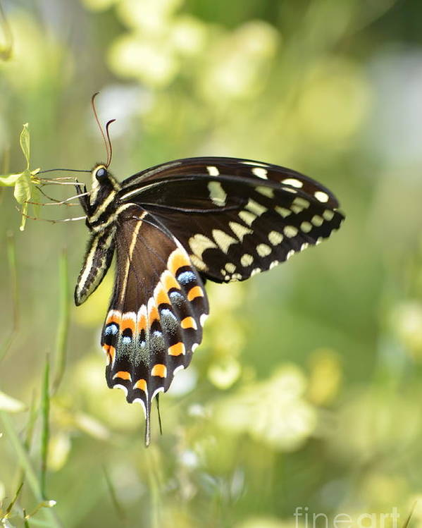 Swallowtail Poster featuring the photograph Palamedes Swallowtail 2 by Kathy Gibbons