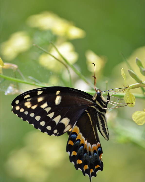 Swallowtail Poster featuring the photograph Palamedes Swallowtail by Kathy Gibbons