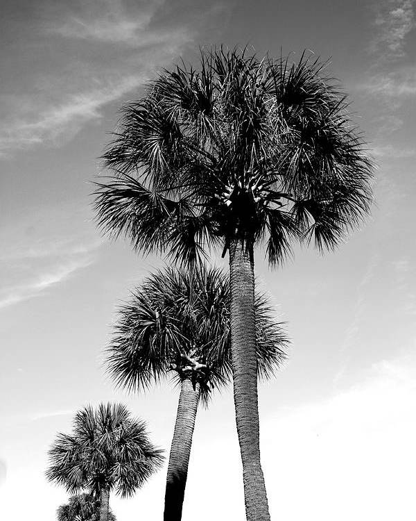 Palm Poster featuring the photograph Palm Trees by Wendy Mogul