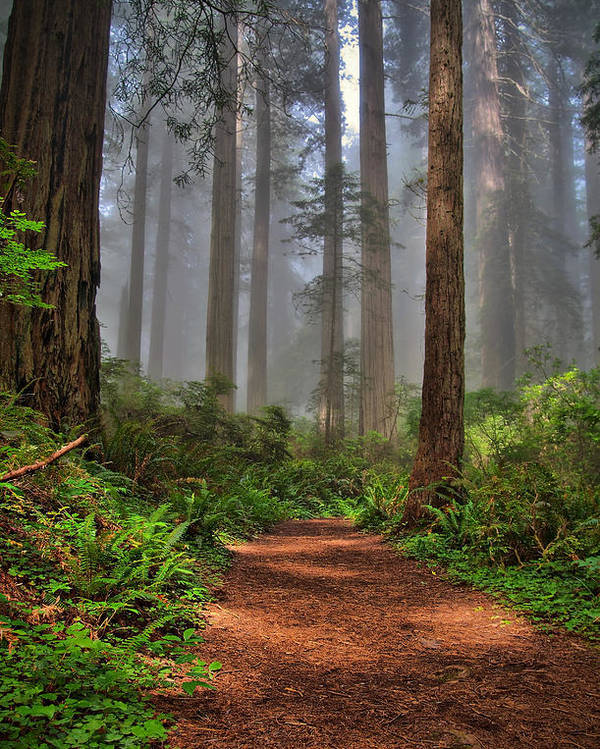 Redwoods Poster featuring the photograph Path Thru The Redwoods by Michael Ayers