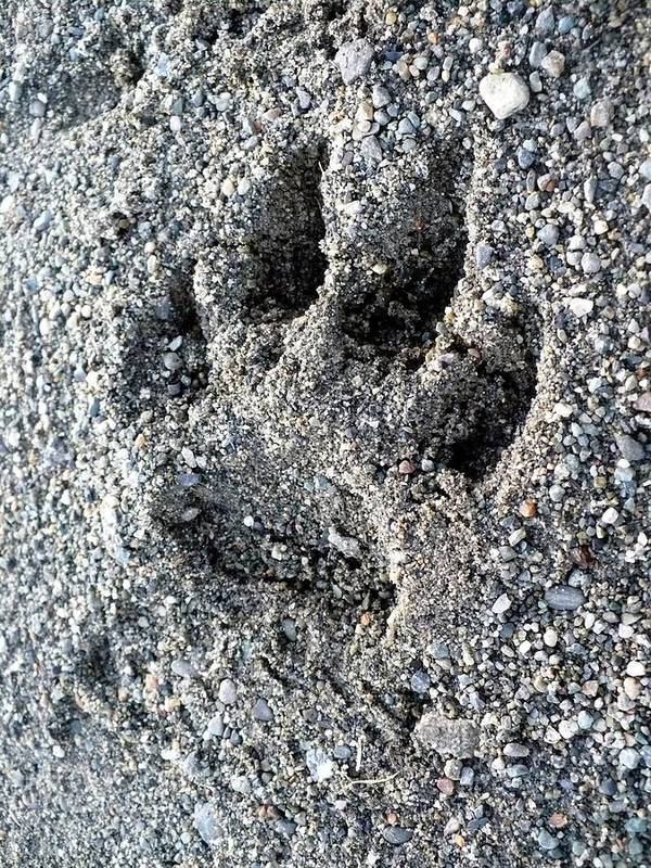 Wildlife Poster featuring the photograph Paw Print by Nicki Bennett