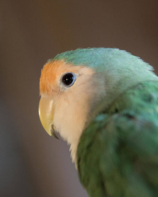Lovebird Poster featuring the photograph Peach Faced Lovebird 1 by Jason Standiford