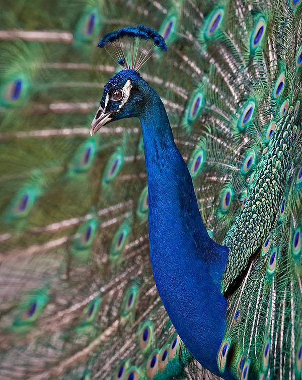 Peacock Poster featuring the photograph Peacock Display by Susan Candelario