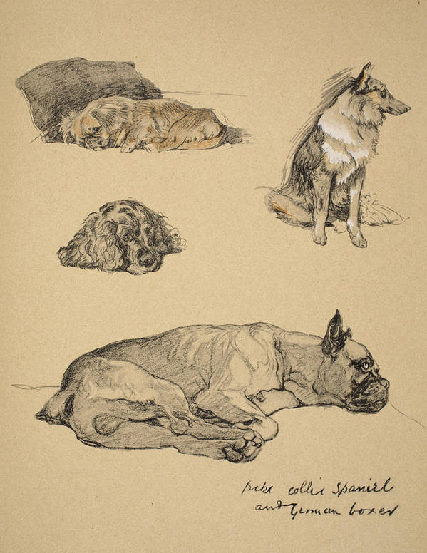 Dog Poster featuring the drawing Peke, Collie, Spaniel And German Boxer by Cecil Charles Windsor Aldin