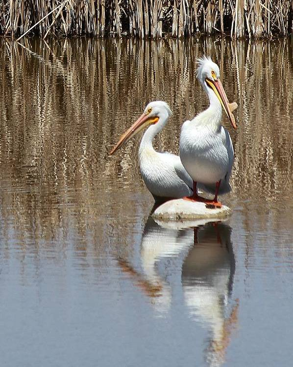 American White Pelican Poster featuring the photograph Pelican Deuce by Diane Alexander