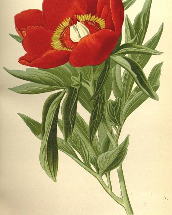 Peony Poster featuring the painting Peony by Philip Ralley