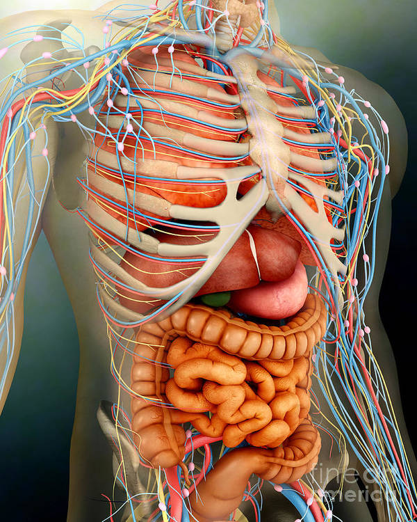 Vertical Poster featuring the digital art Perspective View Of Human Body, Whole by Stocktrek Images
