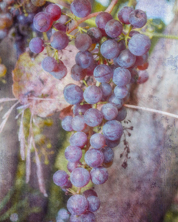 Vineyard Poster featuring the photograph Phil's Grapes by Jeff Swanson