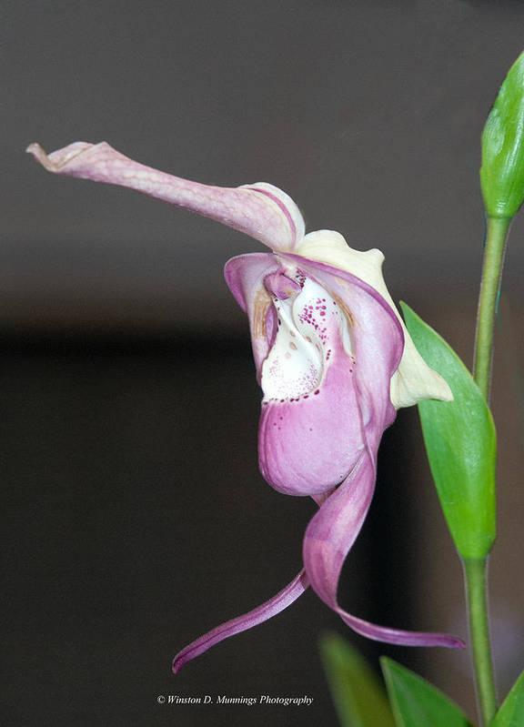 Phragmipedium Poster featuring the photograph Phragmipedium - Phrag Frank Smith Orchid by Winston D Munnings