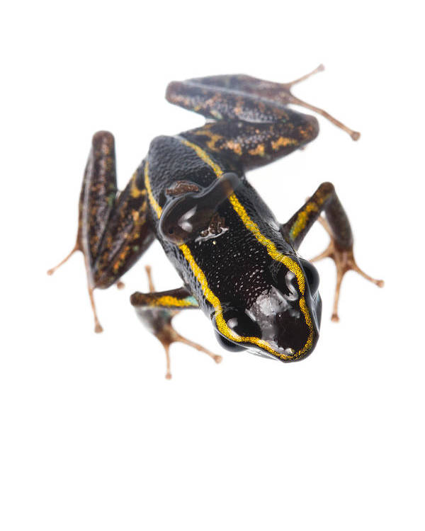Amphibians Poster featuring the photograph Phyllobates Lugubris With A Tadpole by JP Lawrence